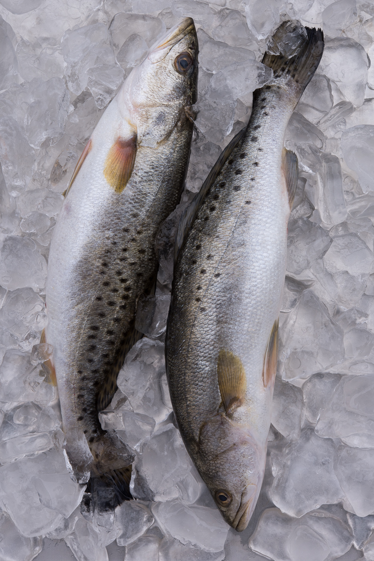 Speckled Trout Lightroom-0342